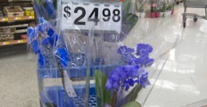 blue orchids at Walmart