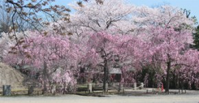 cherry trees blooming in Kyoto