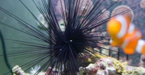 Herman the Sea Urchin