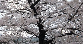 Cherry tree in bloom at Ueno Park