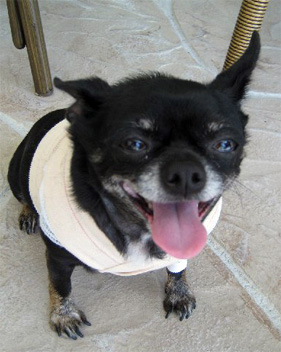 PeeWee in bandages