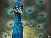 Amorous peacock (from bbc.co.uk)
