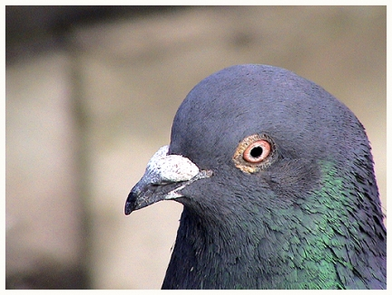 Pidgeon by the Programmers Stone