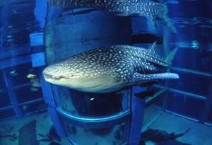 Whale shark from the Osaka Aquarium