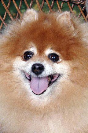 Mitzi the Pomeranian