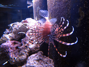 Our healthy Lionfish, thanks to Predator & Prey