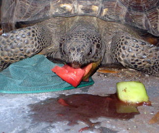 Yertle the Turtle eating watermelon